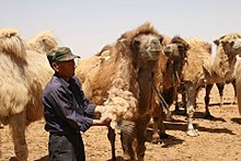 A man shears a camel, surrounded by other camels