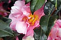 Camellia japonica Pink Icicle 1zz.jpg