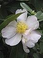 Camellia sasanqua 'Exquisite' RBGM 15-4-2017.jpg