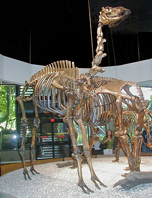 Camelops - Mounted skeleton of Camelops hesternus in the George C. Page Museum, Los Angeles