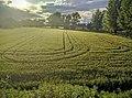Campo di grano.jpeg