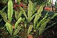 Campyloneurum phyllitidis 0zz.jpg