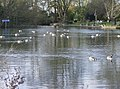 Canada geese on the Thames - geograph.org.uk - 609731.jpg