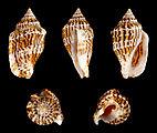 Canarium mutabile forma zebriolatus 01.JPG
