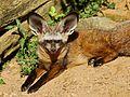 Canidae - Otocyon megalotis.jpg