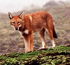 Canis simensis Bale Mountains 1.jpg