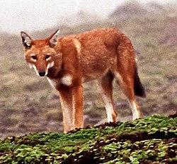 Canis simensis Bale Mountains 1.jpg