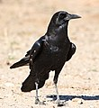 Cape crow, Corvus capensis, at Kgalagadi Transfrontier Park, Northern Cape, South Africa (35947035601).jpg