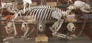 Honey badger - Skeleton from the Muséum national d'histoire naturelle