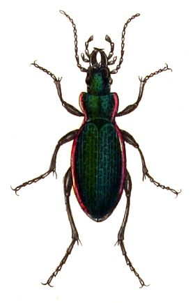 Carabus.excellens.-.calwer.02.04.jpg