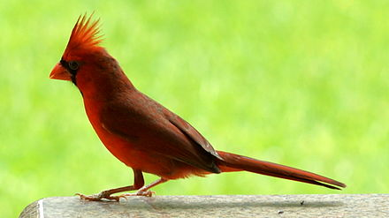 A male cardinal in Texas Cardinal side view.JPG