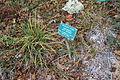 Carex brainerdii - Regional Parks Botanic Garden, Berkeley, CA - DSC04525.JPG