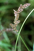 Carex decomposita NRCS-1.jpg