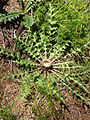 Carlina-acaulis Pflanze 4643.jpg