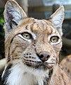 Carpathian Lynx 5 (35944476416).jpg