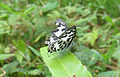 Castalius rosimon - Common Pierrot 30.jpg