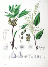 Castanopsis cuspidata SZ2