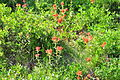 Castilleja miniata - Paradise, Mount Rainier, August 2014 - 04.jpg