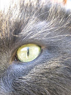 Cat eye in bright sunlight.JPG