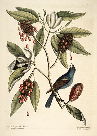 Magnolia virginiana - Mark Catesby (1731), Natural History of Carolina etc., plate 39, with Magnolia lauri folio, subtus albicante, the Sweet Bay (Magnolia virginiana) and Coccothraustes coeruleus, the Blue Grosbeak (Passerina caerulea).
