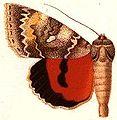 Catocola nevadensis.JPG