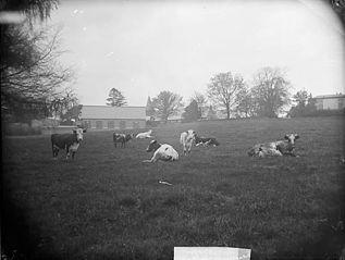 Cattle, Llansanffraidd Deuddwr