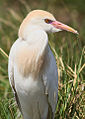 Cattle egret, Bubulcus ibis at Rietvlei Nature Reserve, South Africa (10159584906).jpg