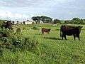 Cattle in a field - geograph.org.uk - 198030.jpg