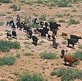 Cattle round up.jpg