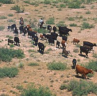 Cattle drive in New Mexico, USA
