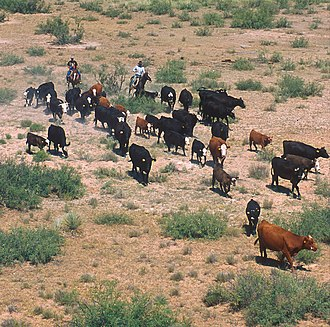 Cattle drives in the United States - A modern small-scale cattle drive in New Mexico.