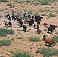 Cattle round up.jpg