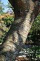 Cecropia peltata - Naples Botanical Garden - Naples, Florida - DSC00064.jpg