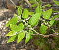 Celtis reticulata 3.jpg