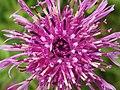 Centaurea scabiosa (14211259464).jpg