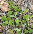 Centella asiatica.jpg