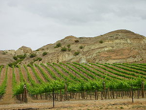 Wineyard in Central Otago, close to Felton Road