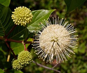 Description de l'image  Cephalanthus occidentalis.jpg.