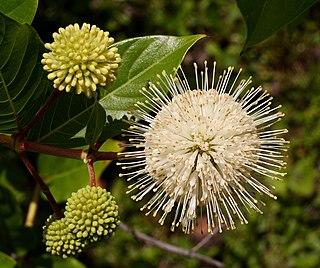 <i>Cephalanthus occidentalis</i> species of plant