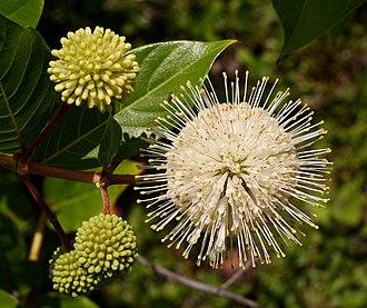 Cephalanthus occidentalis - C. o. var. occidentalis