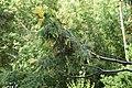 Cercidiphyllum japonicum au Plateau des poètes002.JPG