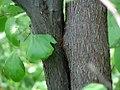 Cercis canadensis 29zz.jpg