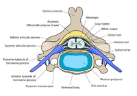 200px-Cervical_vertebra_english.png