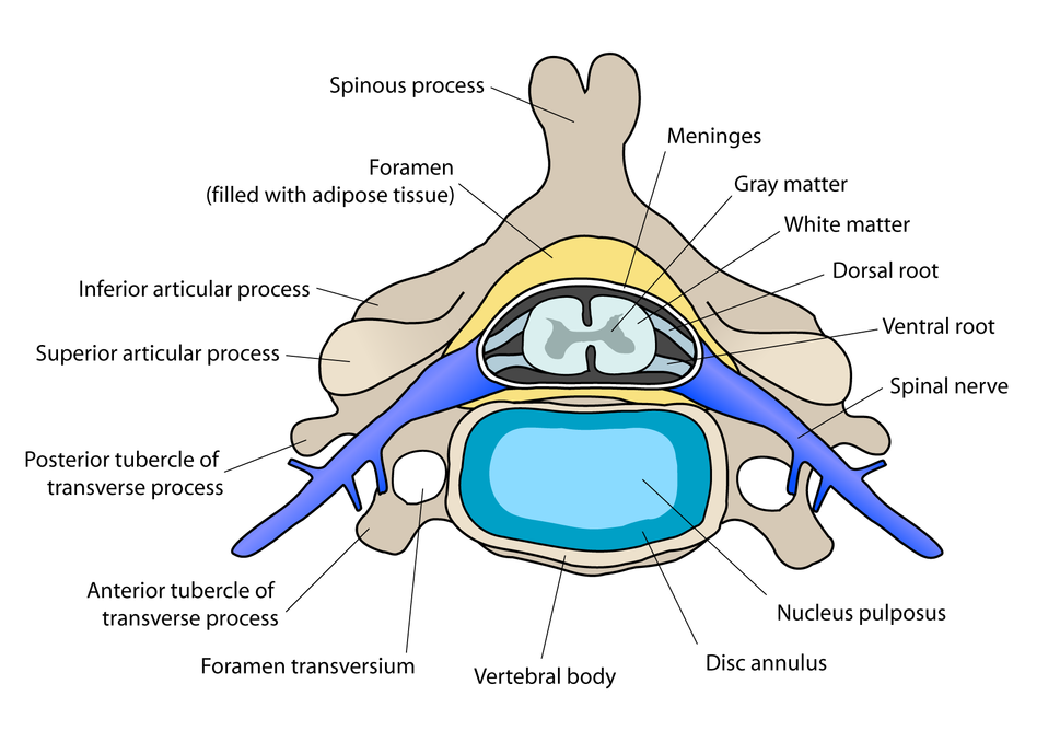 Cervical vertebra english