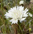 Chaenactis fremontii flower 3.jpg