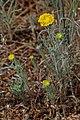 Chaenactis glabriuscula 8141.JPG