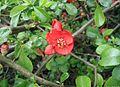 Chaenomeles-japonica-blomst.JPG