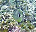 Chaetodon capistratus (foureye butterflyfish) (San Salvador Island, Bahamas) 3 (15549482414).jpg