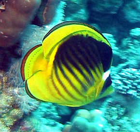 Description de l'image Chaetodon fasciatus.JPG.