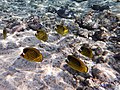 Chaetodon fasciatus - Diagonal butterflyfish..DSCF2990ОВ.jpg